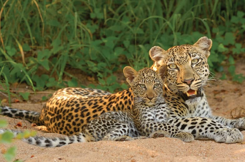 Leopards in Timbavati