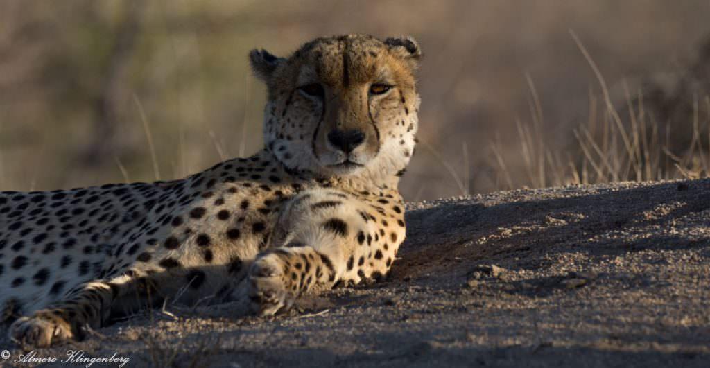 cheetah in the timbavati