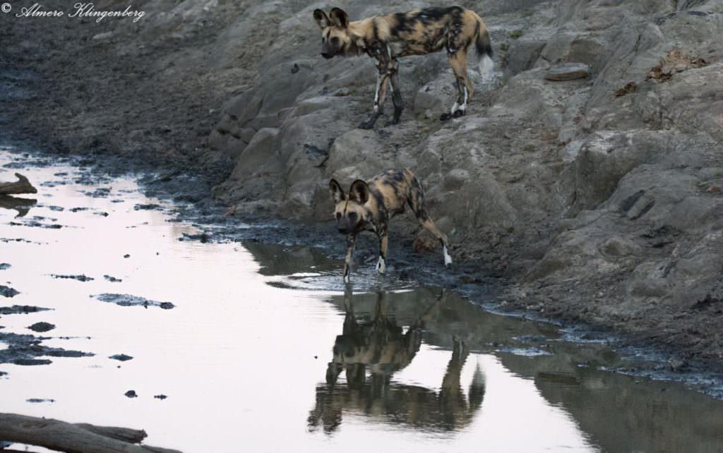 African wild dog timbavati